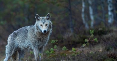 Wilk w bōtach
